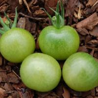 Green Doctors Tomato